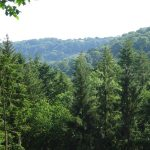 Pine forest higher watercombe Beer Devon